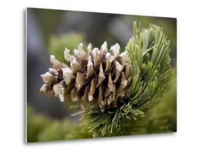 Close Up of a Bristlecone Pine-Scott Warren-Metal Print