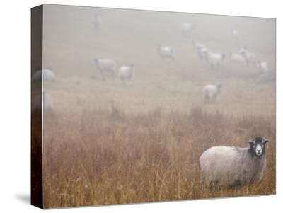 Sheep Grazing in a Field on a Foggy Day-Dawn Kish-Stretched Canvas Print