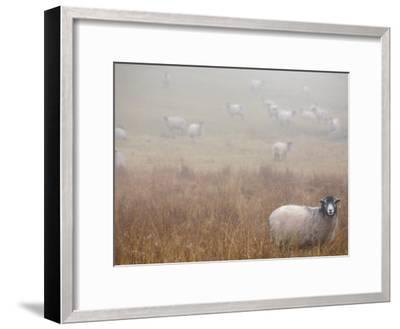 Sheep Grazing in a Field on a Foggy Day-Dawn Kish-Framed Photographic Print