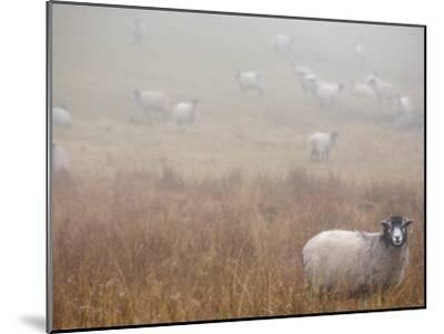 Sheep Grazing in a Field on a Foggy Day-Dawn Kish-Mounted Photographic Print