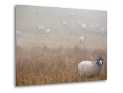 Sheep Grazing in a Field on a Foggy Day-Dawn Kish-Metal Print