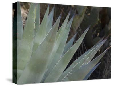 Agave Plant in the Foothills Near Cave Creek-Scott Warren-Stretched Canvas Print