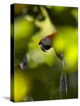 Scarlet Macaw Perched on Branch, Peering Through Leaves-Roy Toft-Stretched Canvas Print