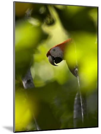 Scarlet Macaw Perched on Branch, Peering Through Leaves-Roy Toft-Mounted Photographic Print