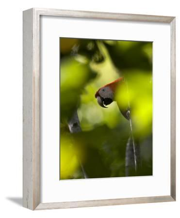 Scarlet Macaw Perched on Branch, Peering Through Leaves-Roy Toft-Framed Photographic Print
