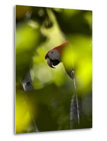 Scarlet Macaw Perched on Branch, Peering Through Leaves-Roy Toft-Metal Print