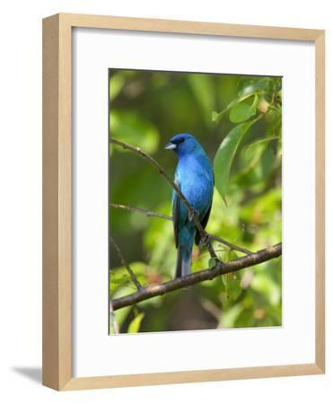 Indigo Bunting, Passerina Cyanea, Perched on a Cherry Tree-George Grall-Framed Photographic Print
