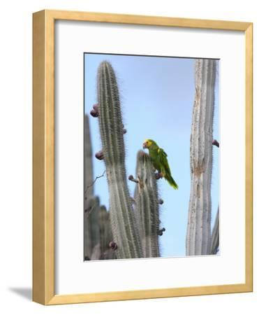 Yellow-Headed Amazon Parrot, Amazona Oratrix, Eating Cactus Pears-George Grall-Framed Photographic Print