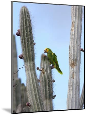 Yellow-Headed Amazon Parrot, Amazona Oratrix, Eating Cactus Pears-George Grall-Mounted Photographic Print