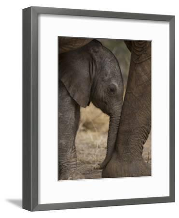 Elephant Calf Finds Shelter Amid its Mother's Legs-Michael Nichols-Framed Photographic Print
