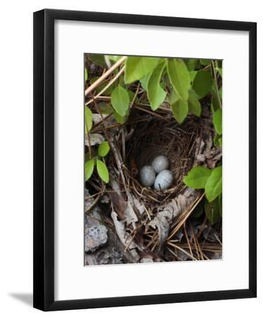 Towhee Nest with 3 Eggs in It. Towhees are Ground Nesting Birds-George Grall-Framed Photographic Print