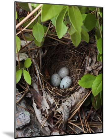 Towhee Nest with 3 Eggs in It. Towhees are Ground Nesting Birds-George Grall-Mounted Photographic Print