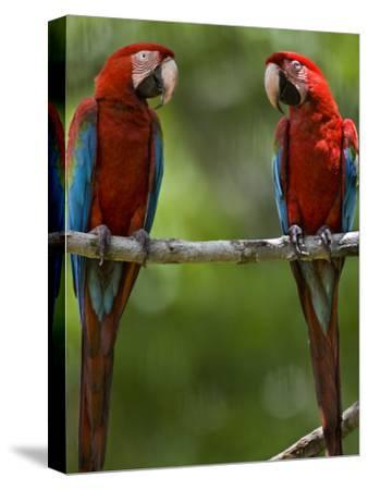 Pair of Scarlet Macaws Perched on a Tree Limb-Mattias Klum-Stretched Canvas Print