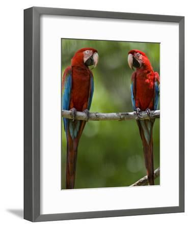 Pair of Scarlet Macaws Perched on a Tree Limb-Mattias Klum-Framed Photographic Print