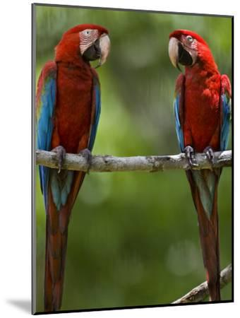 Pair of Scarlet Macaws Perched on a Tree Limb-Mattias Klum-Mounted Photographic Print