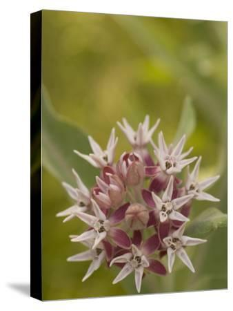 Milkweed Plant(Asclepias)Blooming in a Summer Meadow in Morning-Phil Schermeister-Stretched Canvas Print