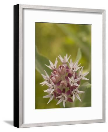 Milkweed Plant(Asclepias)Blooming in a Summer Meadow in Morning-Phil Schermeister-Framed Photographic Print