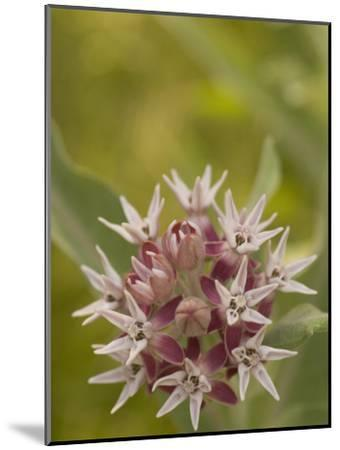 Milkweed Plant(Asclepias)Blooming in a Summer Meadow in Morning-Phil Schermeister-Mounted Photographic Print