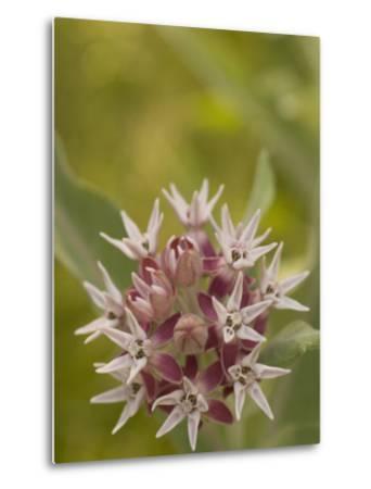 Milkweed Plant(Asclepias)Blooming in a Summer Meadow in Morning-Phil Schermeister-Metal Print