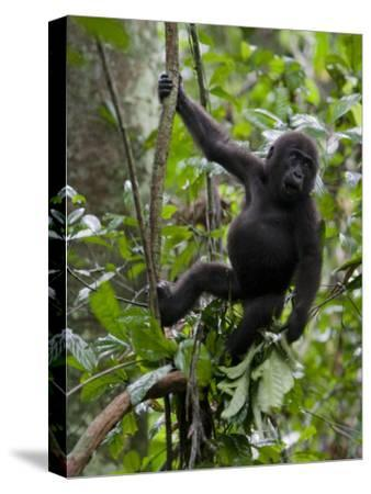 Juvenile Male Western Lowland Gorilla Shaking a Tree Branch-Ian Nichols-Stretched Canvas Print
