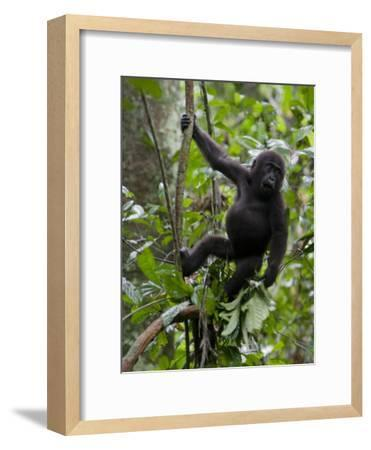 Juvenile Male Western Lowland Gorilla Shaking a Tree Branch-Ian Nichols-Framed Photographic Print