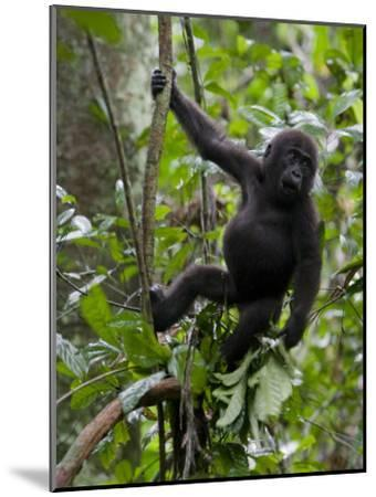 Juvenile Male Western Lowland Gorilla Shaking a Tree Branch-Ian Nichols-Mounted Photographic Print