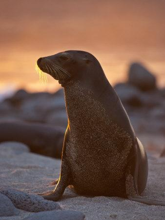 Lone Sea Lion at Sunset in the Galapagos Islands-Michael Melford-Premium Photographic Print