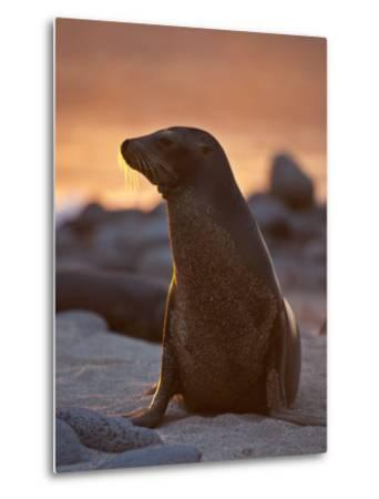 Lone Sea Lion at Sunset in the Galapagos Islands-Michael Melford-Metal Print