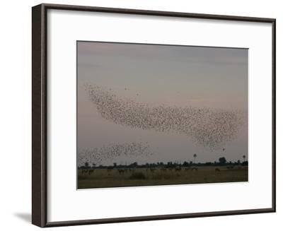 Red Lechwe, Kobus Leche, and Wattled Starlings, Creatophora Cinerea-Beverly Joubert-Framed Photographic Print