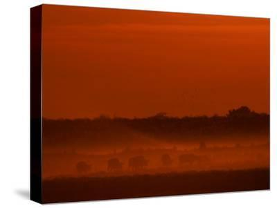 Herd of African Buffalo, Syncerus Caffer, in Mist at Twilight-Beverly Joubert-Stretched Canvas Print