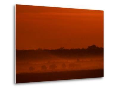 Herd of African Buffalo, Syncerus Caffer, in Mist at Twilight-Beverly Joubert-Metal Print
