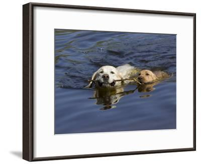 Adult and Puppy Labradors Playing Fetch with a Stick in the Water-Roy Toft-Framed Photographic Print
