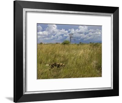 Lone African Wild Hunting Dog Walking in Tall Grass-Roy Toft-Framed Photographic Print