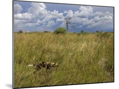 Lone African Wild Hunting Dog Walking in Tall Grass-Roy Toft-Mounted Photographic Print