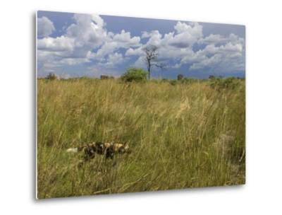 Lone African Wild Hunting Dog Walking in Tall Grass-Roy Toft-Metal Print