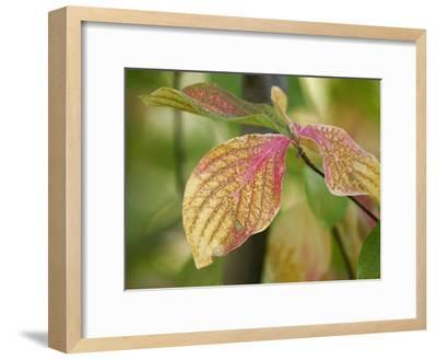 Tree Leaves Display Autumn Color Change-Charles Kogod-Framed Photographic Print