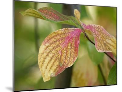 Tree Leaves Display Autumn Color Change-Charles Kogod-Mounted Photographic Print