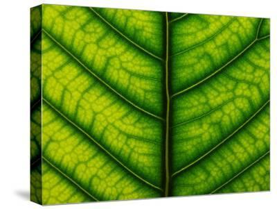 Backlit Close Up of a Fig Leaf, with Visible Veins-Jozsef Szentpeteri-Stretched Canvas Print