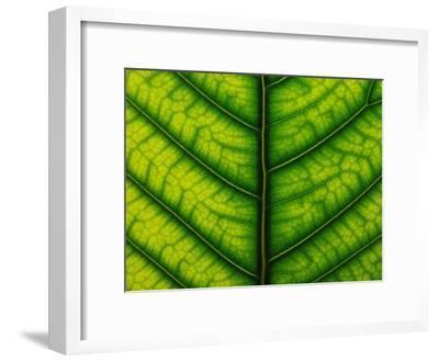 Backlit Close Up of a Fig Leaf, with Visible Veins-Jozsef Szentpeteri-Framed Photographic Print