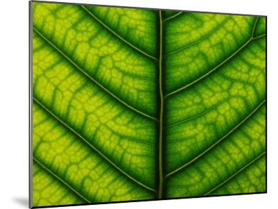 Backlit Close Up of a Fig Leaf, with Visible Veins-Jozsef Szentpeteri-Mounted Photographic Print