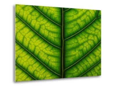 Backlit Close Up of a Fig Leaf, with Visible Veins-Jozsef Szentpeteri-Metal Print