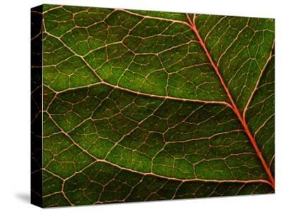 Backlit Close Up of a Rose Leaf, with Visible Veins-Jozsef Szentpeteri-Stretched Canvas Print