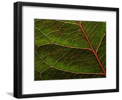 Backlit Close Up of a Rose Leaf, with Visible Veins-Jozsef Szentpeteri-Framed Photographic Print