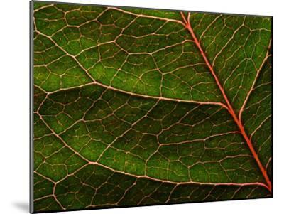 Backlit Close Up of a Rose Leaf, with Visible Veins-Jozsef Szentpeteri-Mounted Photographic Print