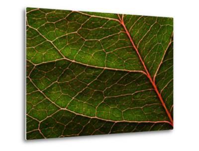 Backlit Close Up of a Rose Leaf, with Visible Veins-Jozsef Szentpeteri-Metal Print