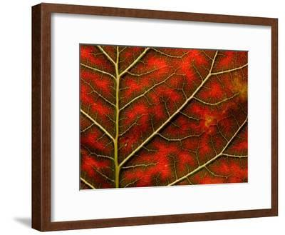 Backlit Close Up of a Smoke Tree Leaf, with Visible Veins-Jozsef Szentpeteri-Framed Photographic Print