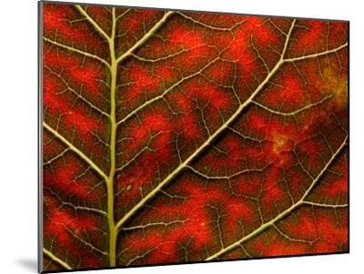 Backlit Close Up of a Smoke Tree Leaf, with Visible Veins-Jozsef Szentpeteri-Mounted Photographic Print