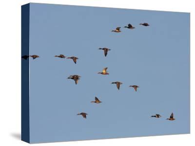 Flock of Mallards, Anas Platyrhynchos, in Flight in a Blue Sky-George Grall-Stretched Canvas Print