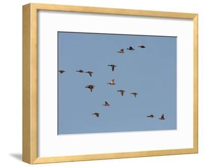 Flock of Mallards, Anas Platyrhynchos, in Flight in a Blue Sky-George Grall-Framed Photographic Print