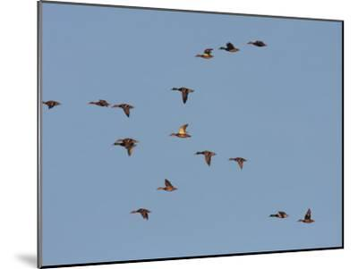 Flock of Mallards, Anas Platyrhynchos, in Flight in a Blue Sky-George Grall-Mounted Photographic Print